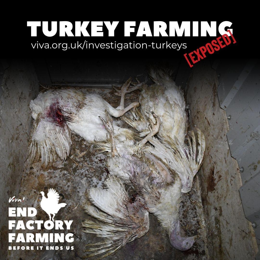 Dead Turkeys at Clearwell Farm